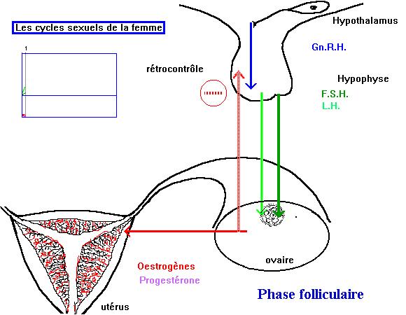 les hormones chez la femme